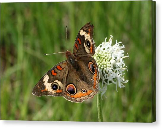 Common Buckeye Butterfly On Wildflower Canvas Print