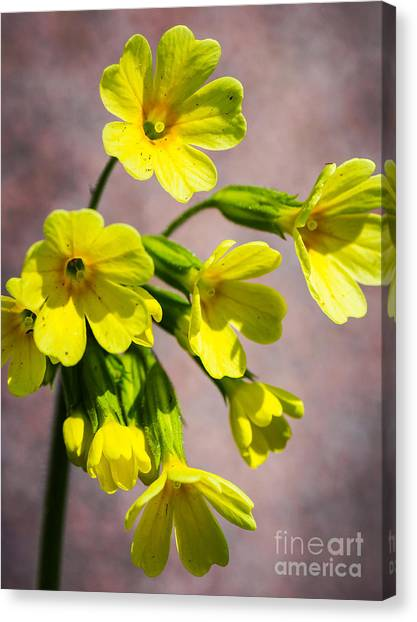 Common Cowslip In The Morning Sunlight Canvas Print