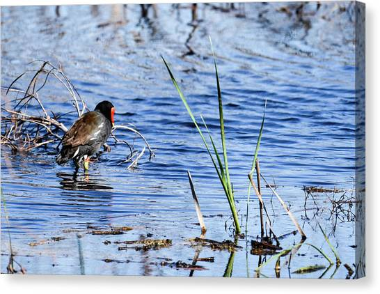Common Gallinule Canvas Print