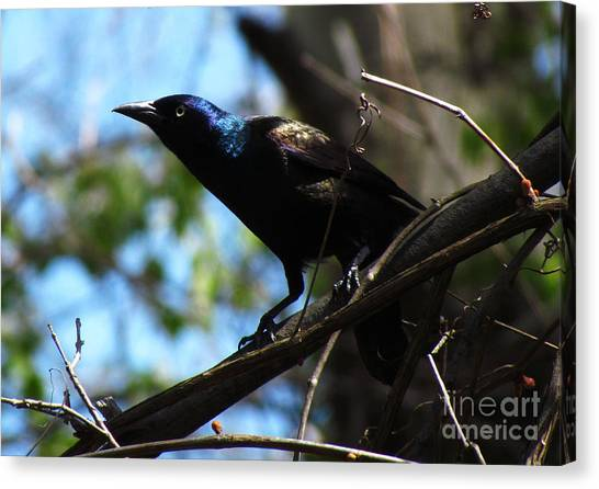 Common Grackle Canvas Print by Deborah Johnson
