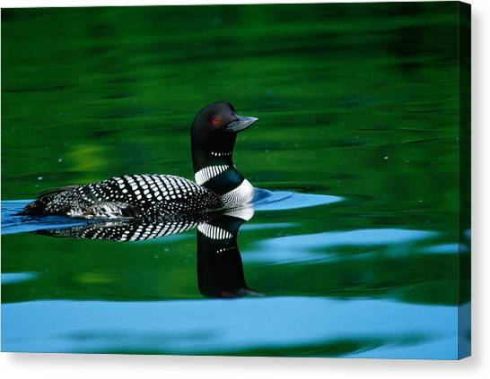 Loon Canvas Print - Common Loon In Water, Michigan, Usa by Panoramic Images