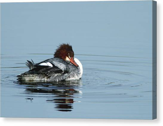 Common Merganser Canvas Print