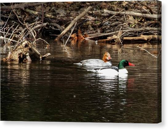 Canvas Print featuring the photograph Common Mergansers by Betty Pauwels