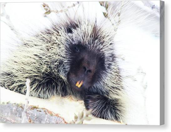 Common Porcupine Canvas Print