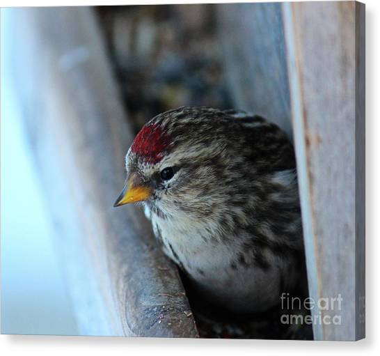 Canvas Print featuring the photograph Common Redpoll by Ann E Robson