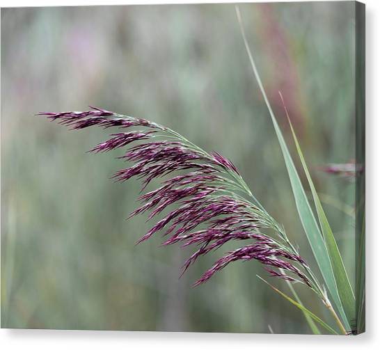 Canvas Print featuring the photograph Common Reed Flower Stalk by Scott Lyons