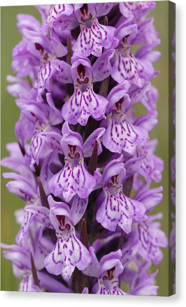 Common Spotted Orchid Canvas Print by Liz Pinchen