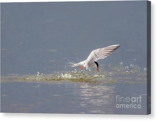 Canvas Print featuring the photograph Common Tern - Sterna Hirundo - Emerging From The Water With A Fish by Paul Farnfield