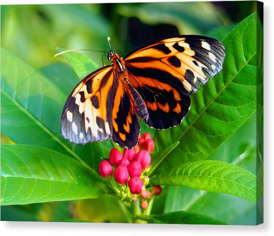 Common Tiger Glassywing Butterfly Canvas Print