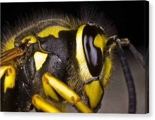 Common Wasp Vespula Vulgaris Close-up Canvas Print