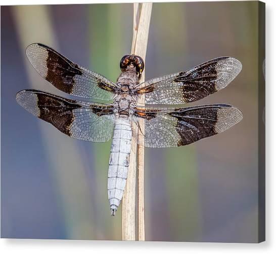Missouri Whitetail Canvas Print - Common Whitetail by Morris Finkelstein