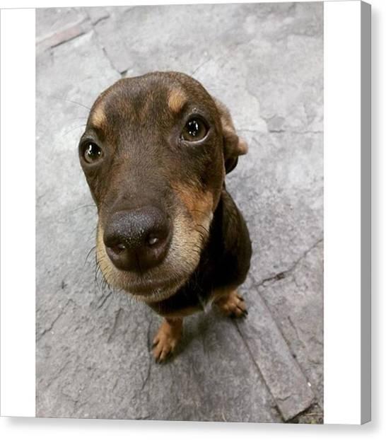 Schnauzers Canvas Print - Como Decirle No A Coffe :3  #dog by Jonas Seijas