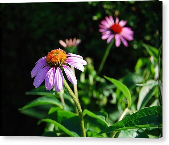 Cone Flower Canvas Print by Beverly Cazzell
