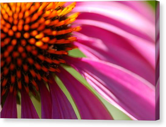 Cone Flower Canvas Print by Scott Gould