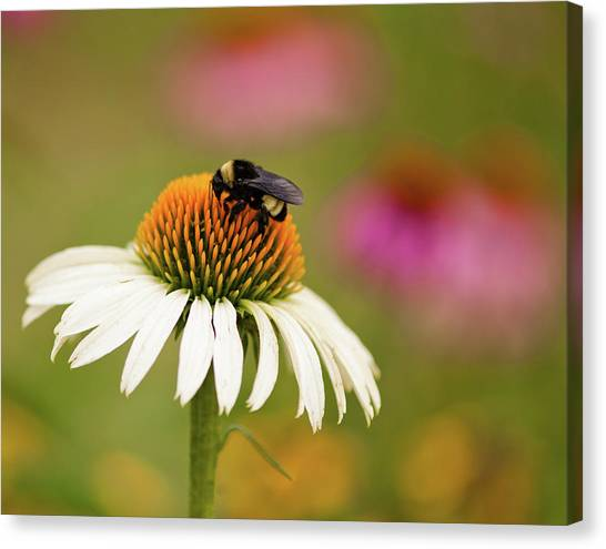 Coneflower And Bee Canvas Print