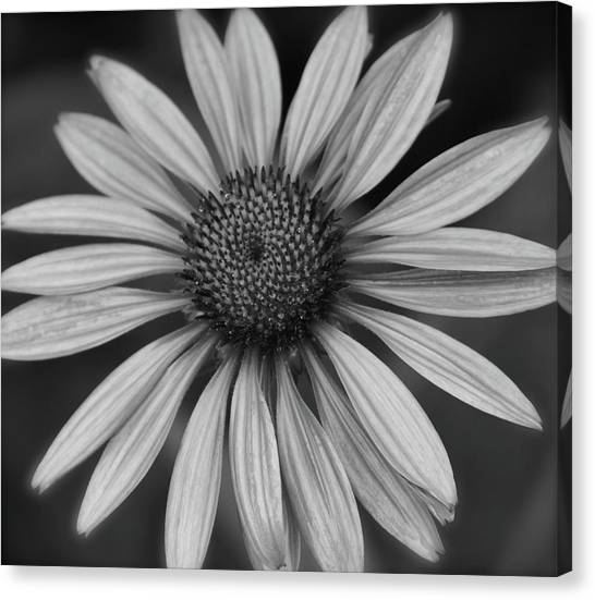 Coneflower In Black And White Canvas Print