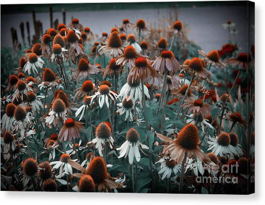 Coneflowers Bits Of Torquise Canvas Print