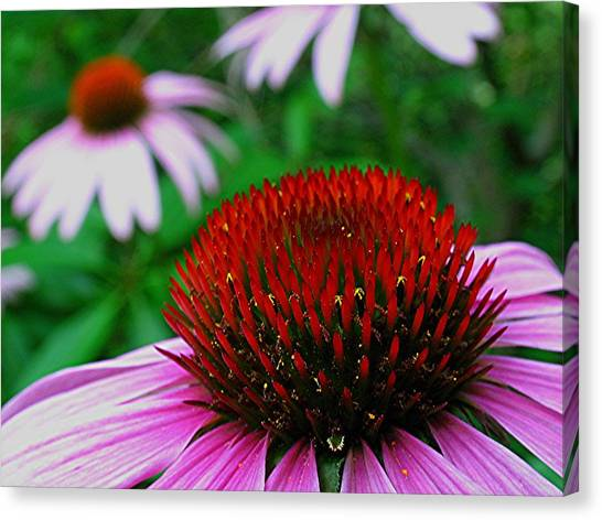 Coneflowers Canvas Print by Juergen Roth