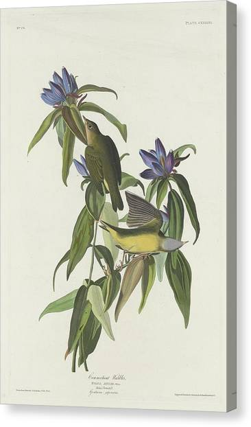Warblers Canvas Print - Connecticut Warbler by Dreyer Wildlife Print Collections