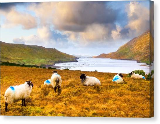 Connemara Sheep Grazing Over Killary Fjord Canvas Print by Mark Tisdale