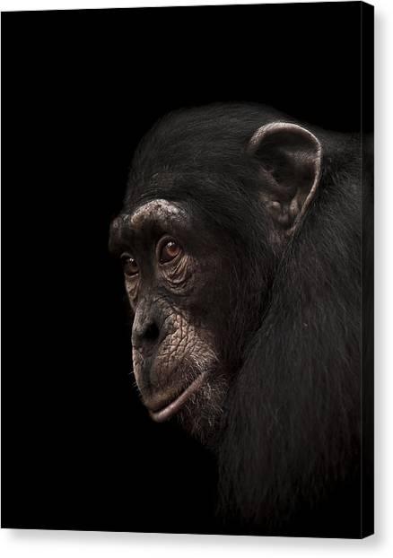 Chimpanzees Canvas Print - Contemplation by Paul Neville