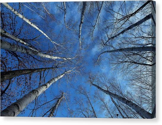 Converging White Birches Canvas Print
