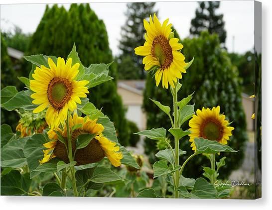 Conversing Sunflowers Canvas Print