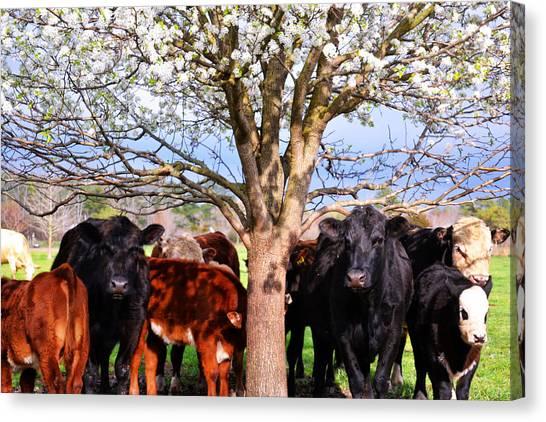 Cool Cows Canvas Print