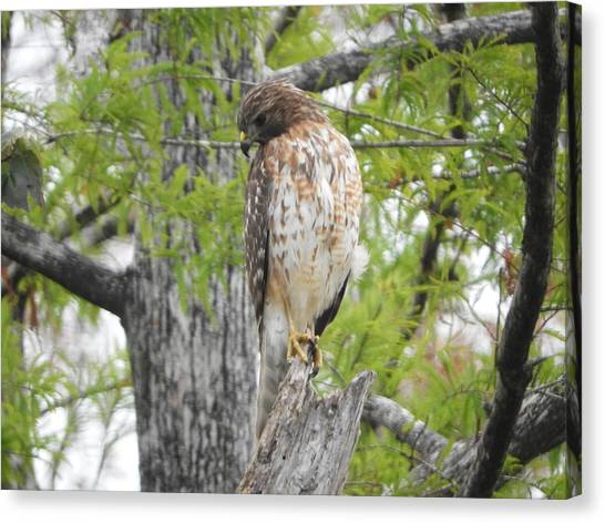 Canvas Print - Cooper's Hawk by Red Cross