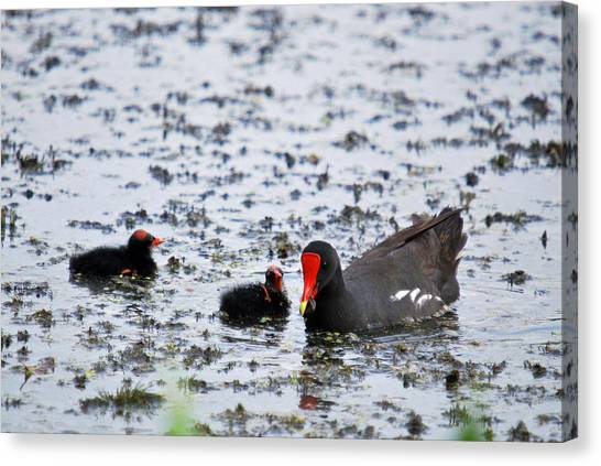 Coot Family Canvas Print by Teresa Blanton