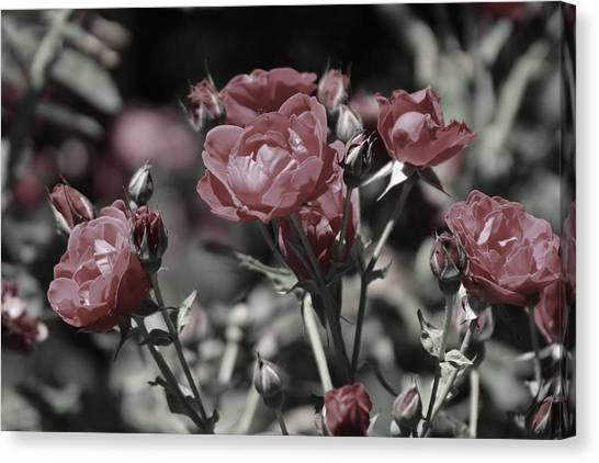 Copper Rouge Rose In Almost Black And White Canvas Print