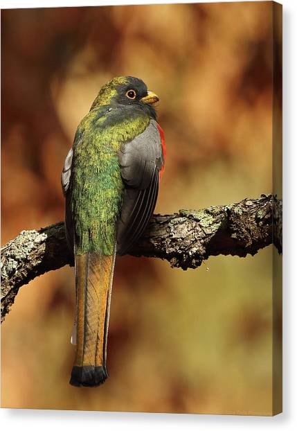 A Coppery-tailed Elegant Trogon Canvas Print