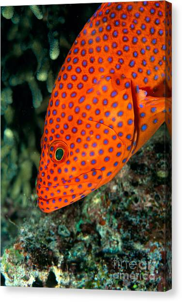 Half Life Canvas Print - Coral Grouper by Dave Fleetham - Printscapes