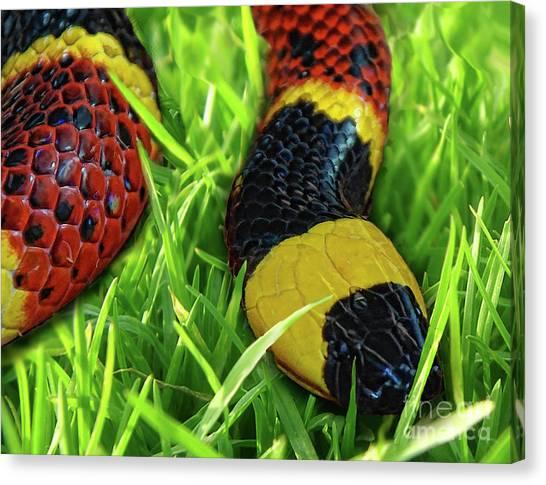 Coral Snakes Canvas Print - Coral Snake by Edelberto Cabrera