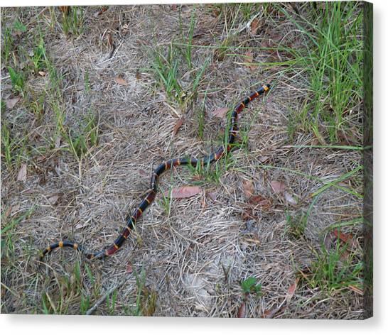 Coral Snakes Canvas Print - Coral Snake - Florida by rd Erickson