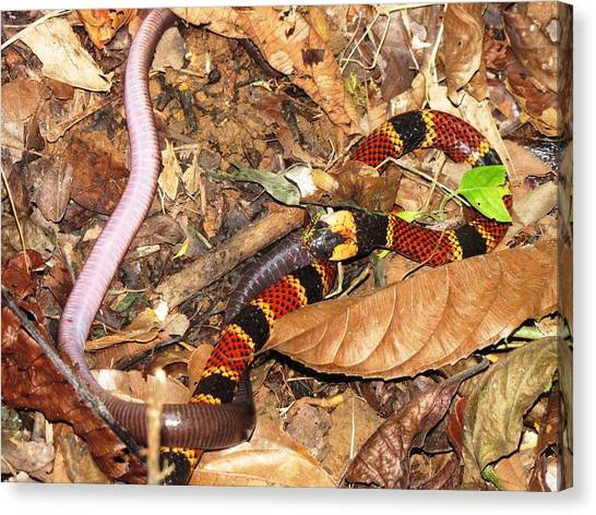 Coral Snakes Canvas Print - Coral Snake Snack by Sabine Greger