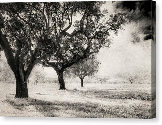 Cork Trees Canvas Print