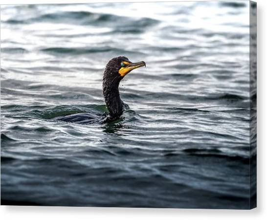 Ornithology Canvas Print - Cormorant  Shot It From Buffalo Outer by Hsa Htaw