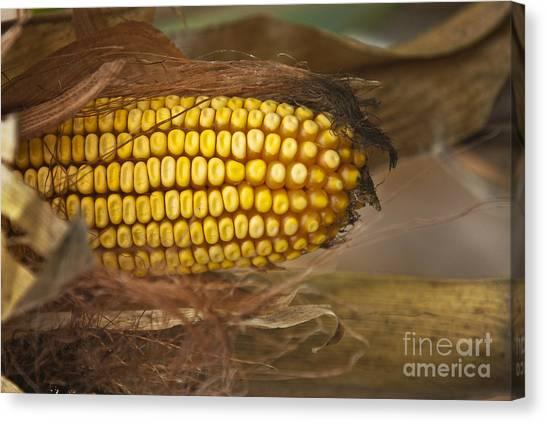 Corn Maze Canvas Print - Corn by Dan Radi