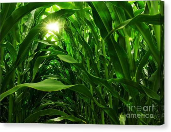 Corn Canvas Print - Corn Field by Carlos Caetano