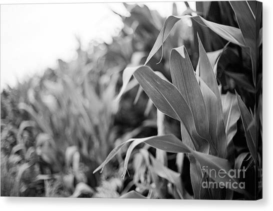 Canvas Print featuring the photograph Corn In Black And White by Sandy Adams