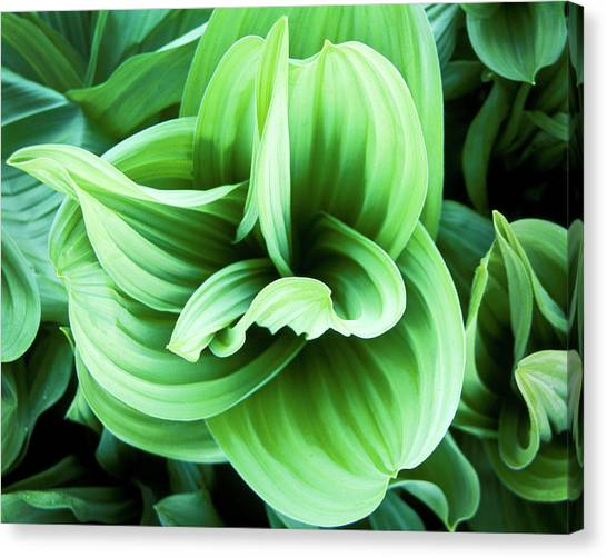 Corn Lily Canvas Print