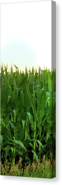 Corn Of July Canvas Print