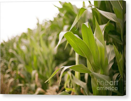 Canvas Print featuring the photograph Corn by Sandy Adams