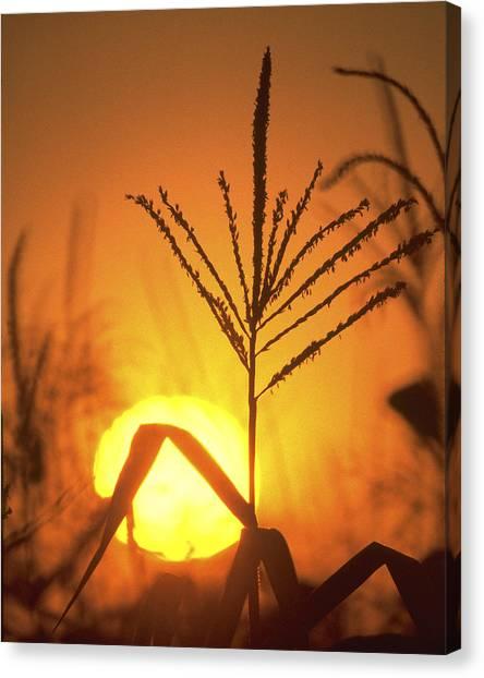 Corn Field Canvas Print - Cornfield Sunset by Garry McMichael