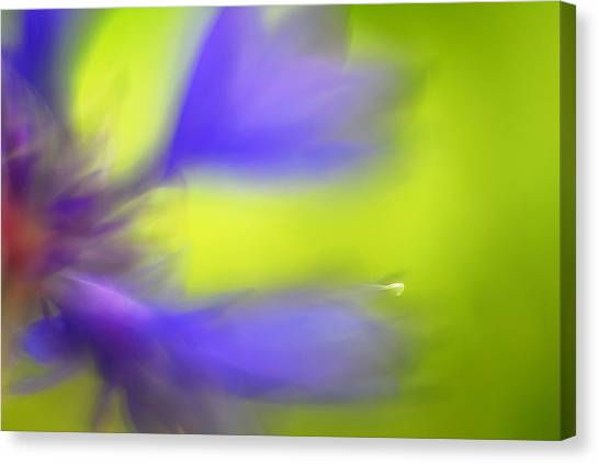Close Up Canvas Print - Cornflower by Silke Magino
