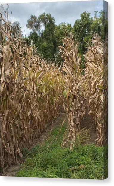 Corn Maze Canvas Print - Cornstalks by Arlene Carmel