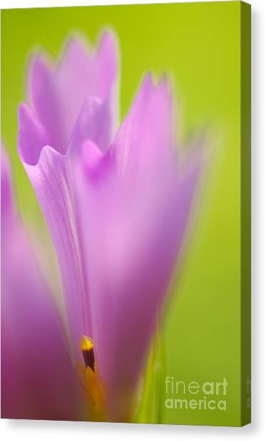 Bloom Canvas Print - Cosmea by Silke Magino