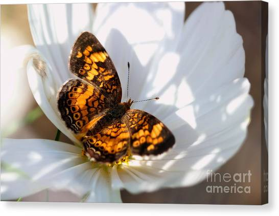 Pearl Crescent Butterfly On White Cosmo Flower Canvas Print