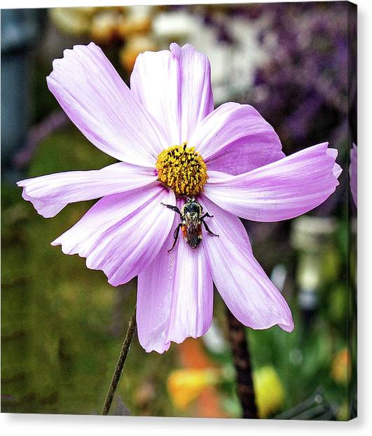 Cosmos And The Bee Canvas Print